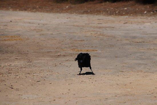 Heirisson Island: A raven