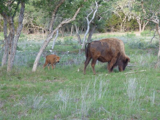 Mountain Home, TX: A one-day-old baby buffalo.