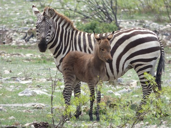 Mountain Home, TX: The first Zonkey born on the ranch.