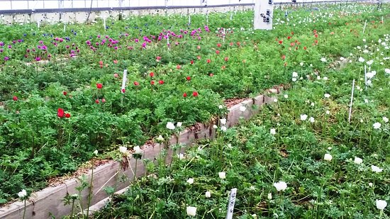 Red Hook, NY: Grouped by color, flowers grow in greenhouses May to September