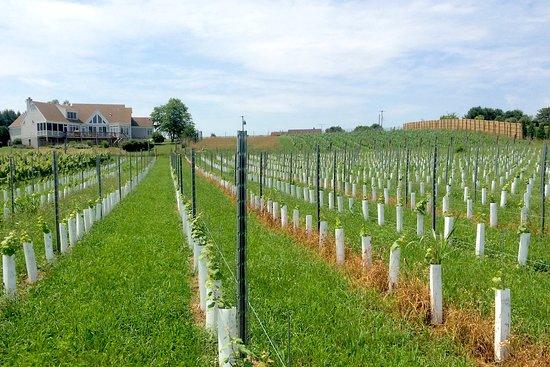 Crozet, VA: View of Inn from Stinson Vineyards