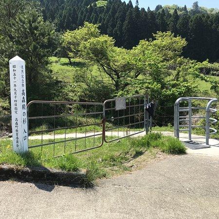 Takamoridon no Sugi