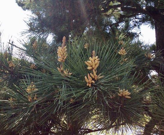 Sankeien Gardens: Pine trees in the gardens.