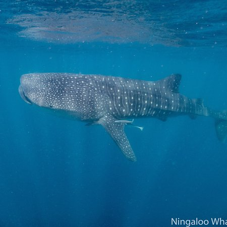 e8c66d256c9a4 photo1.jpg - Picture of Ningaloo Whaleshark Swim