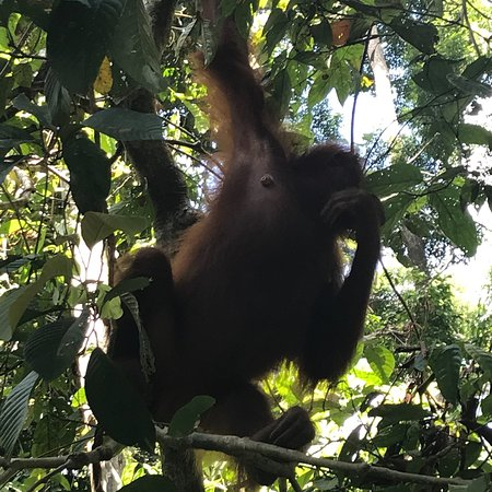 Sepilok Orangutan Sanctuary: photo2.jpg