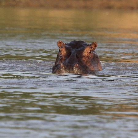 Lindi Region, Tanzania: Rufiji River Hippo from boat safari in the Selous
