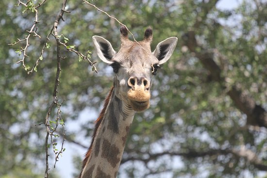 Lindi Region, Tanzania: Giraffe in the Selous