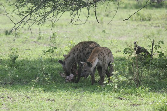 Lindi Region, Tanzania: Hyenas in the Selous