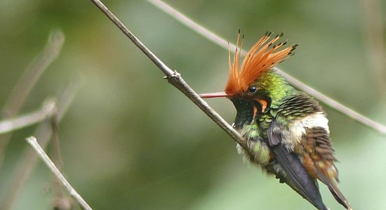 Habitats Peru Travel: Rufous-crested Coquette at White Sands