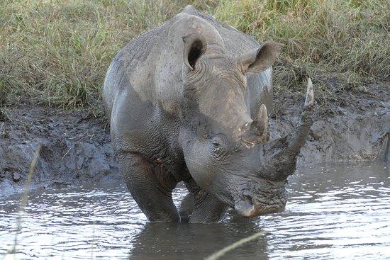 Zululand, Sudáfrica: Rhino by the road side, Imfolozi park