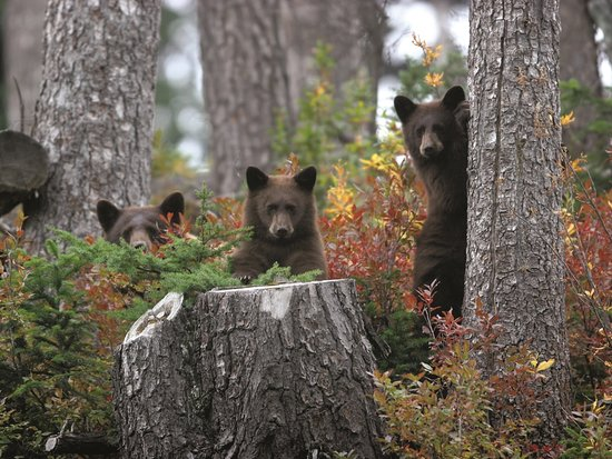 Bear cubs in Whistler