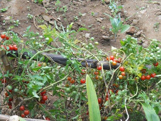 Carhuaz, Peru: cherry en el bio huerto