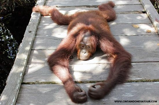 4 DAYS 3 NIGHTS ORANGUTAN TOUR...
