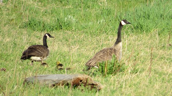 Troy, Montana: Canada Geese with goslings.