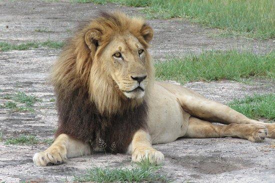 Nxai Pan National Park, بوتسوانا: Black maned lion