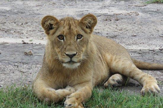 Nxai Pan National Park, بوتسوانا: Lion Cub