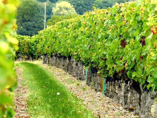 Restigne, França: Vignes