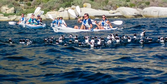 Simon's Town, South Africa: Penguins swimming near our kayaks