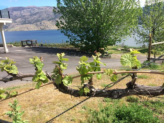 Summerland, Kanada: New spring growth on the vines, overlooking the lake!