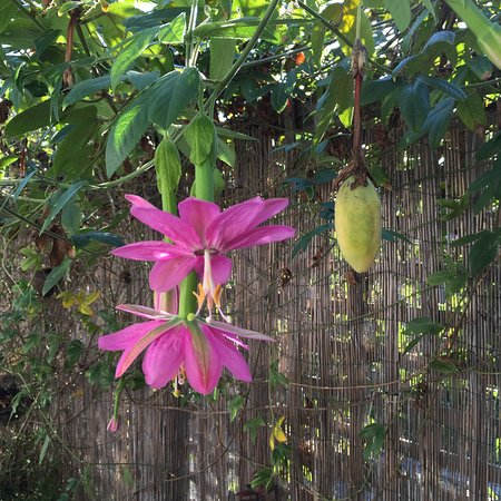 Banana Passionfruit Vine Growing In Outdoor Dining Area Picture Of