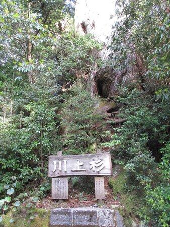 Kawakamisugi