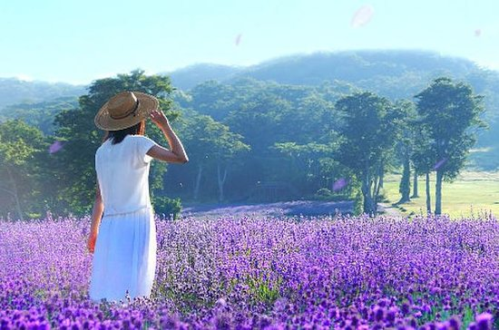 Surrounded by Lavender Aroma in Tambara Lavender Park and Enjoy Peach...