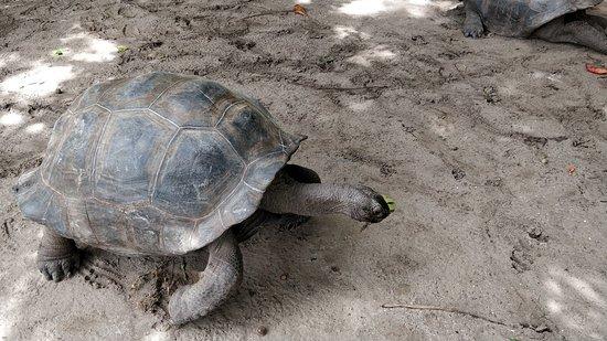 Amitie, Seychelles: Giant Tortoise