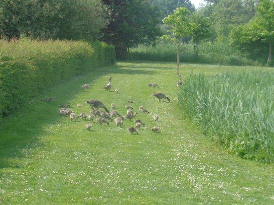 Zoutleeuw, Belgia: Leuke ganzenfamiliefoto!