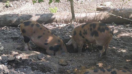 The Pig on the Beach Photo