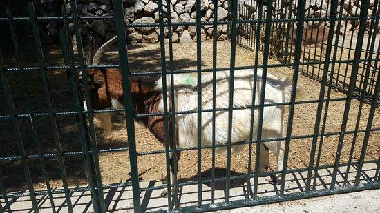 Esporles, Spanien: Una cabra con reducido espacio para moverse
