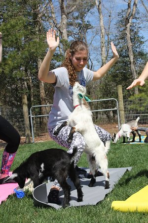 Harbeson, DE: While doing yoga, the friendly goats play around you and often come check out your yoga moves.