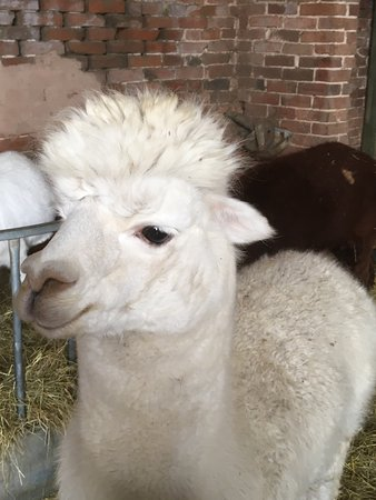 Tanworth in Arden, UK: one of the alpacas