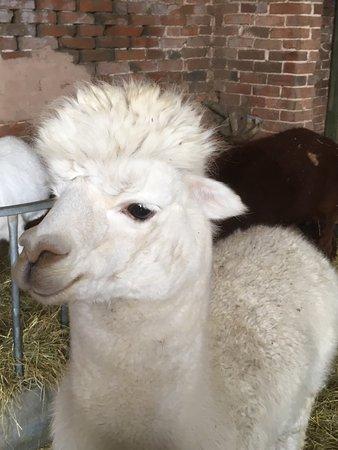 Tanworth-in-Arden, UK: one of the alpacas