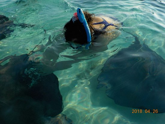 East End, Grand Cayman: Swimming with stingrays