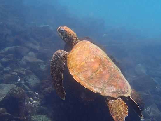 Guiding Galapagos Expeditions: Incredible Sea Turtles.