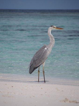 Omadhoo Island: picnic island