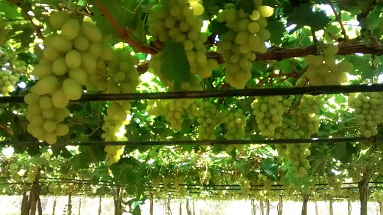 State of Pernambuco: Pé de uva