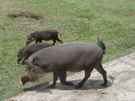 Bako National Park, Malaysia: Bearded pig family walking next to the cafeteria