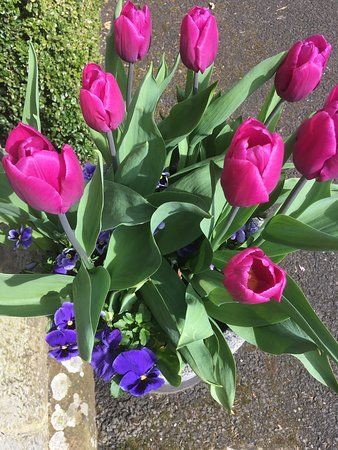 Chatton, UK: Tulips in May