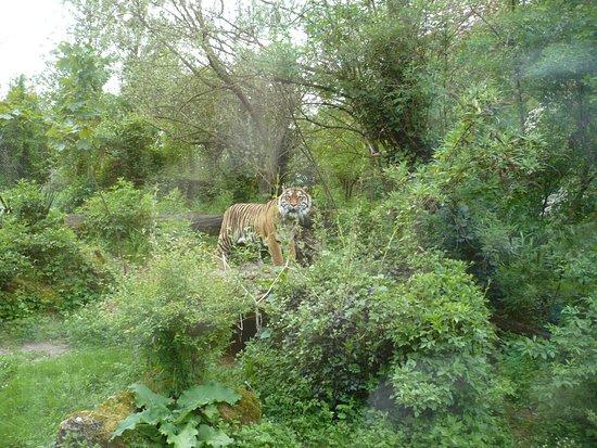 Bioparc De Doué La Fontaine: les tigres