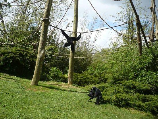 Bioparc De Doué La Fontaine: les gibbons siamangs