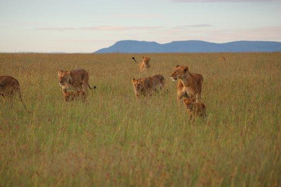 Aqua Paradise Safaris Day Tours: Löwen am frühen Morgen in der Masai Mara