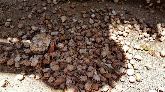 Cayo Iguana: Cangrejos ermitaños