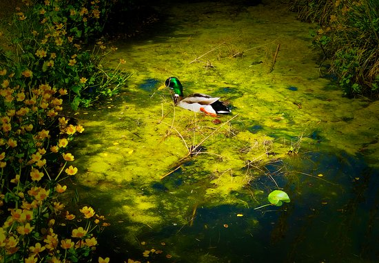 The Open Air Museum : Duck in the water