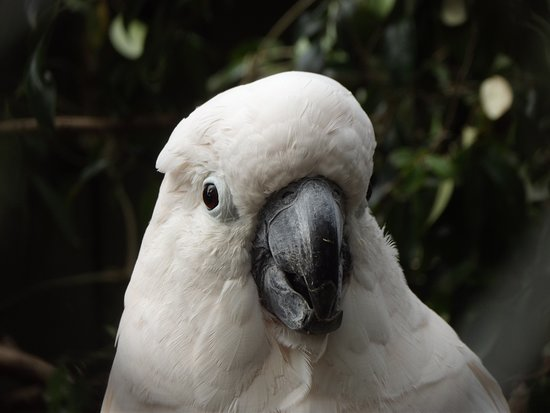Hamilton Zoo: Salmon Crested Cockatoo