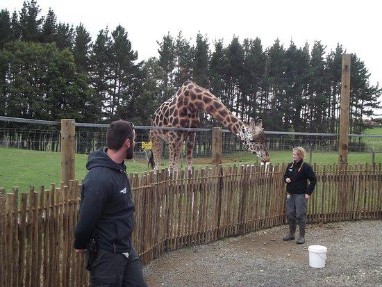Hamilton Zoo: Keepers feeding Young Giraffe