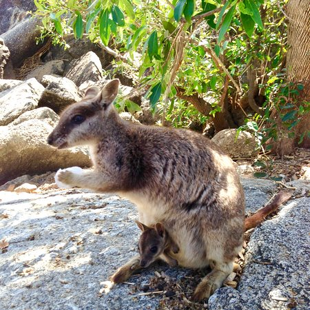 Granite Gorge Nature Park: Mareeba Rock wallaby