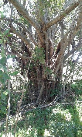 Baviaanskloof Nature Reserve, Sør-Afrika: Old fig tree