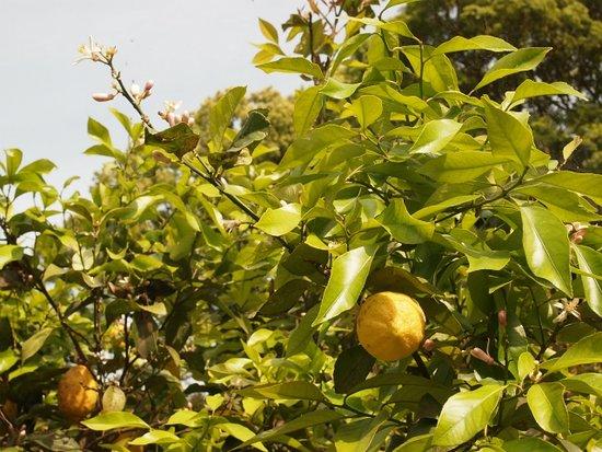 Manazuru-machi, اليابان: 珍しい、レモン狩ができます