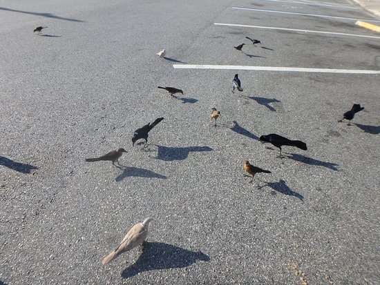 Yulee, FL: Parking lot birds want to be fed